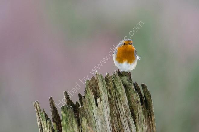 "Robin ""redbreast"""