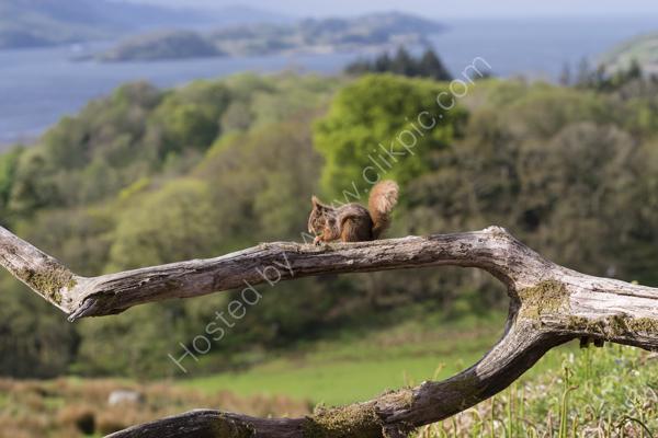 Red Squirrel above Loch Craignish