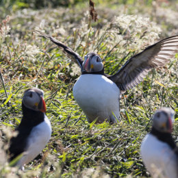 Wing-stretching Puffin