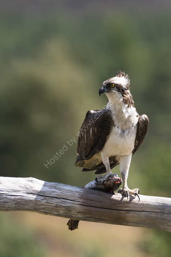 Osprey on the lookout