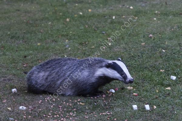 Badger in the garden