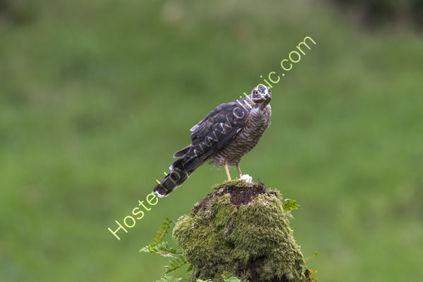 Hen Sparrow Hawk with catch