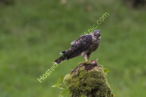 Sparrow Hawk on stump