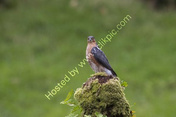 An alert male Sparrow Hawk