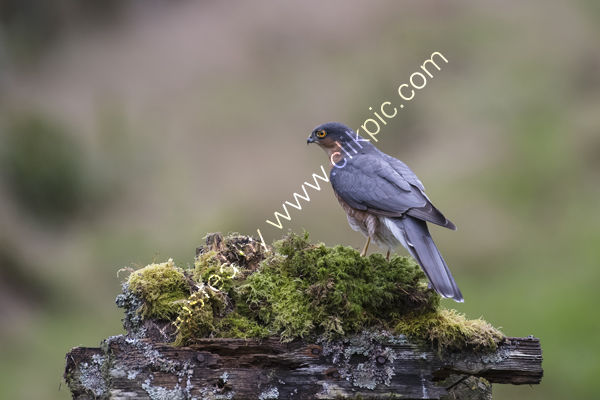 Male Sparrow Hawk