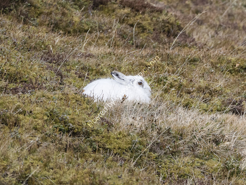 Mountain Hare in set