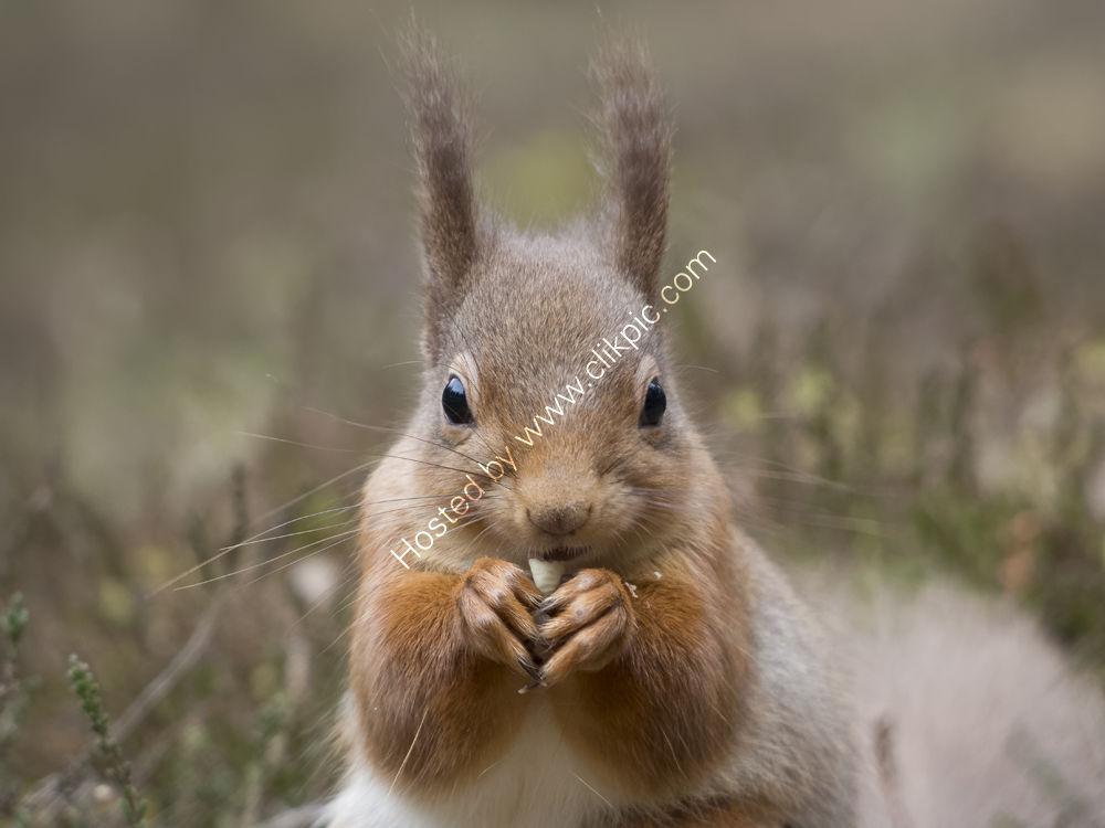 Nice nut