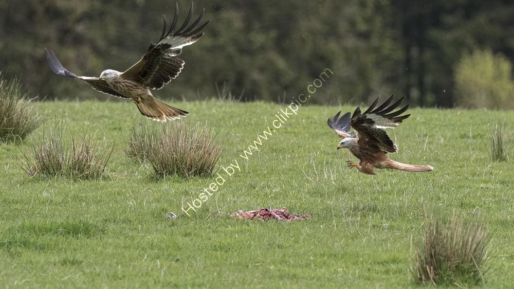 Red Kites feeding
