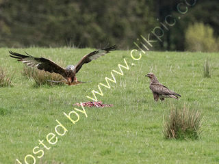 Red Kite watched by Buzzard
