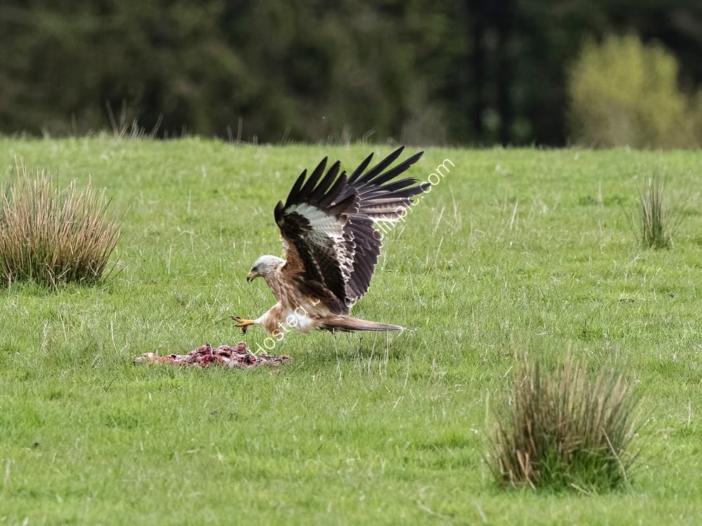 Red Kite collecting food