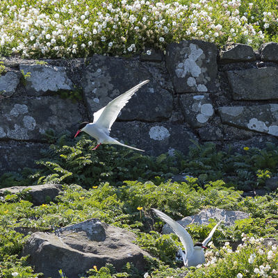 Flying Tern