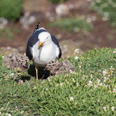 Gull and Chicks