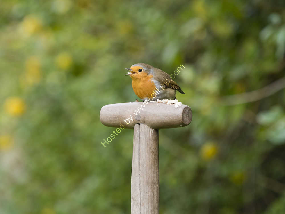 Robin on handle