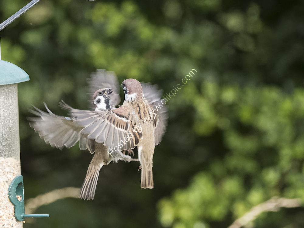 Squabbling Tree Sparrows