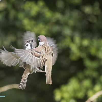 Squabbling Tree Sparrows