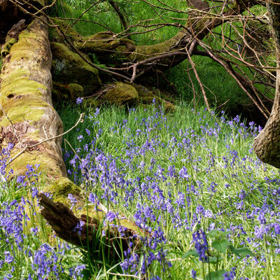 Bluebell wood, Dunblane