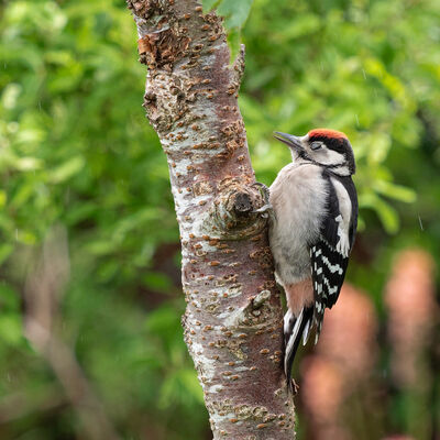 Young Woodpecker, dozing