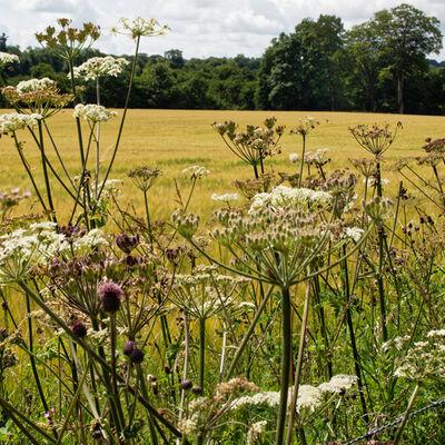 Wild Flowers, near Crieff