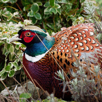 Close-up of Pheasant