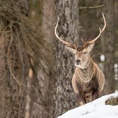 Impressive stag in snow