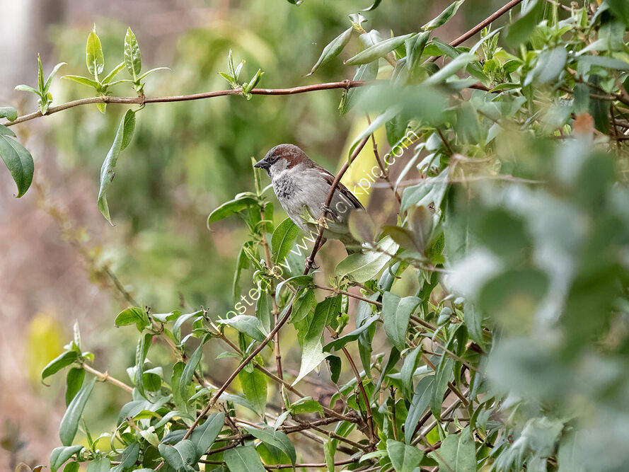 House Sparrow in bushes