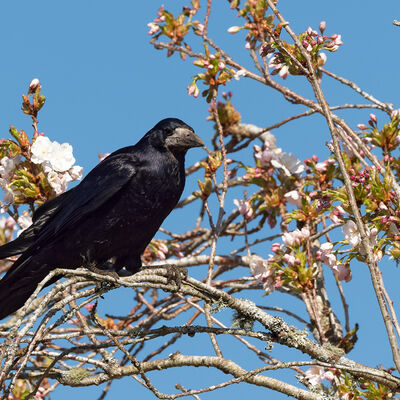 Rook, perched