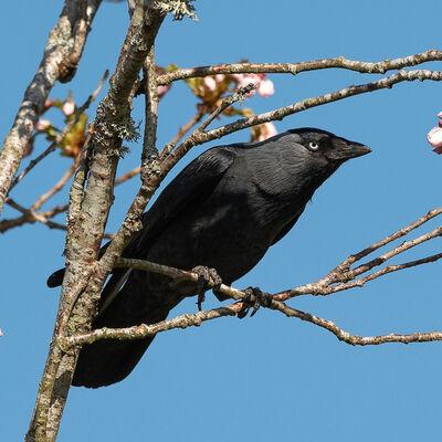 Jackdaw in tree