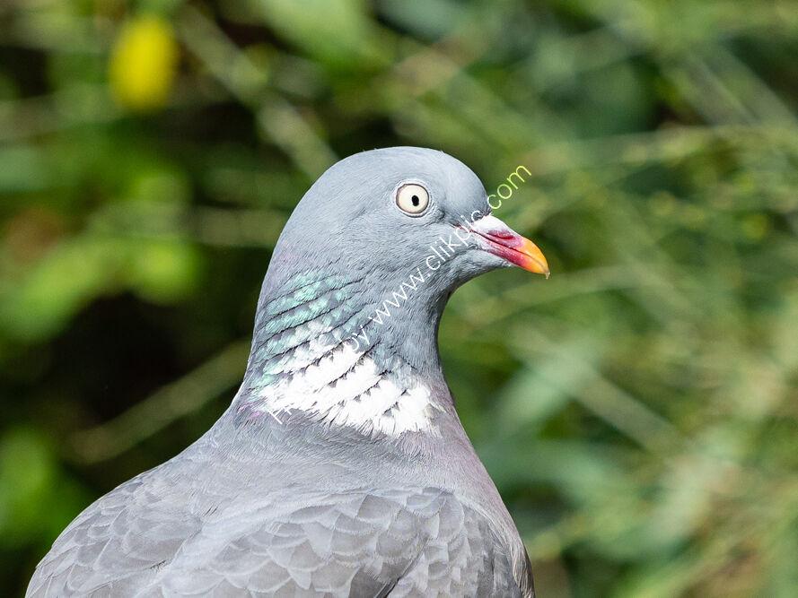 Smug Pigeon?