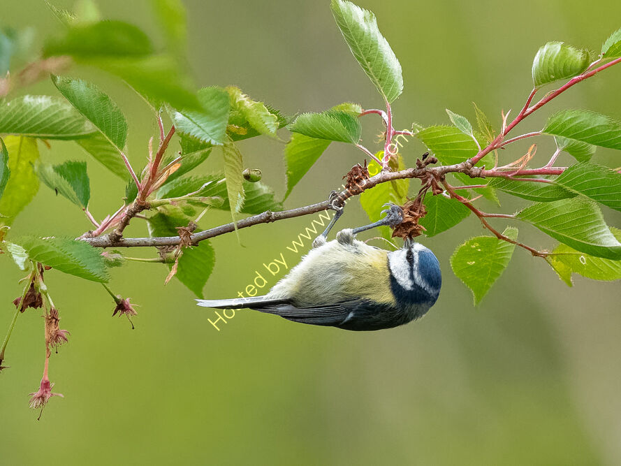 Blue Tit hanging