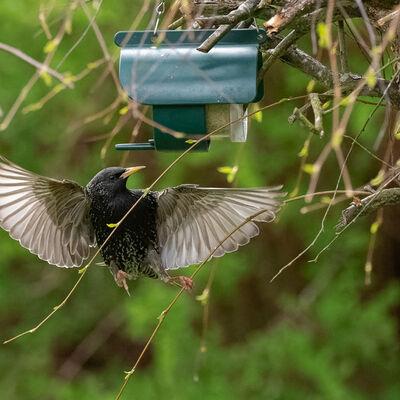 Starling flying