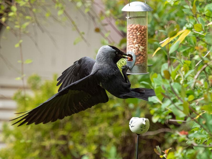 Jackdaw at nut feeder