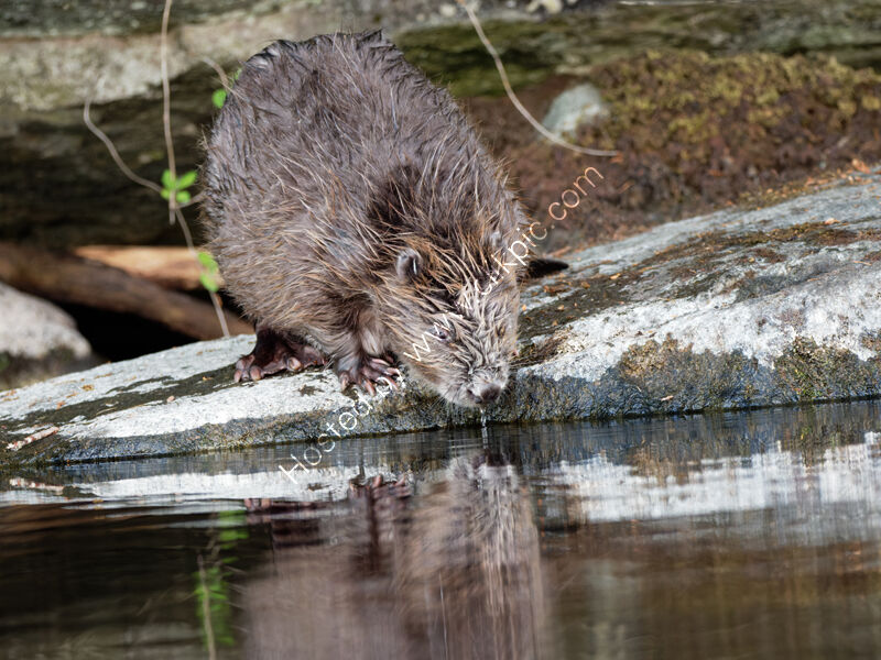 Beaver drinking