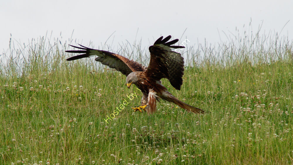 Pouncing Kite