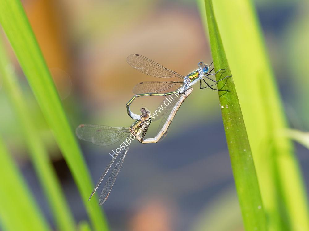 Dragonfly Heart