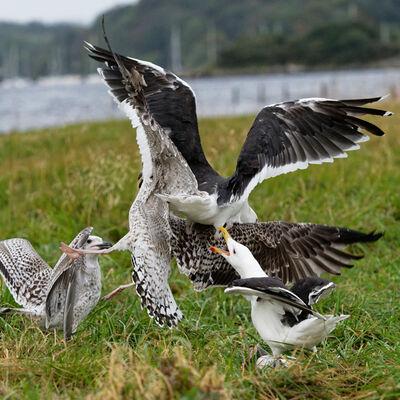 Gulls in action