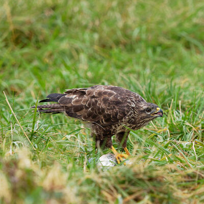Buzzard with food
