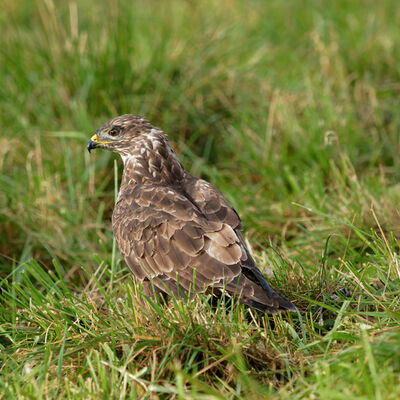 Buzzard in the sun