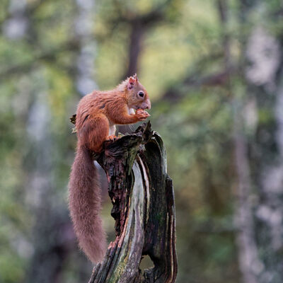 Red Squirrel on stump