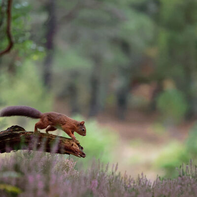Red Squirrel in forest