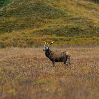 Stag in moorland