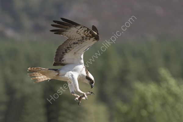 Osprey flying down