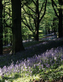 Bluebells at Farnhill woods