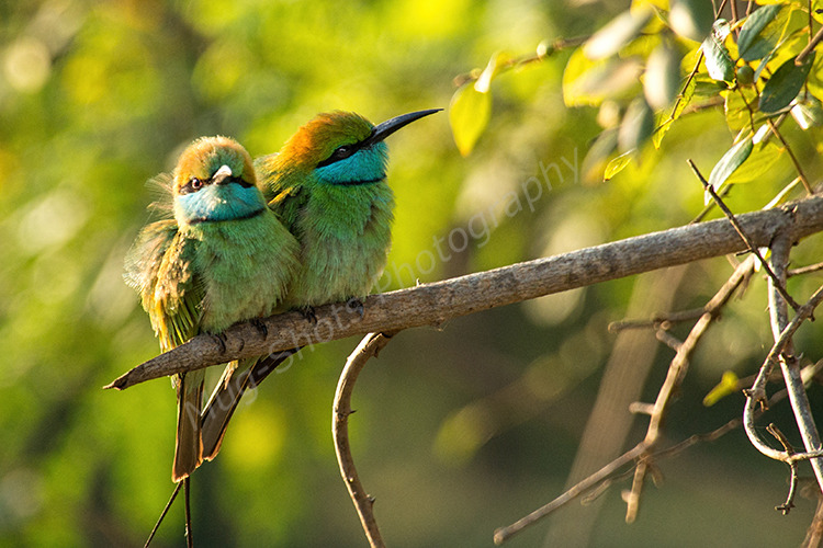 Green Bee Eaters