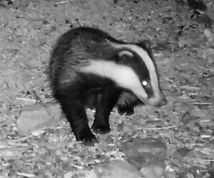 Badger taken with an IP camera