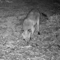 Fox taken with an IP camera