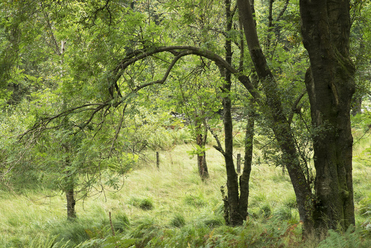 Langdale Ash Trees