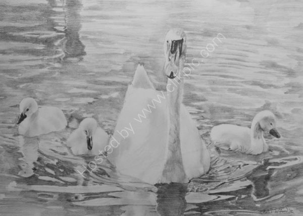 SWAN AND CYGNETS - PENCIL