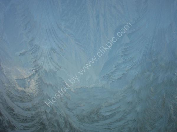 ICE FIR TREES