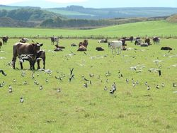 Lapwings and cows