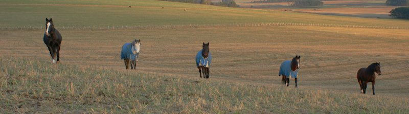Horses on the Stubble